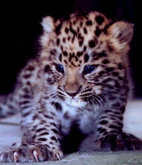 Cute baby snow leopard cubs - photo#28